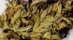 Learn about the strains of cannabis -marijuana