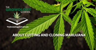 how to clone marijuana, cannabis cuttings learn